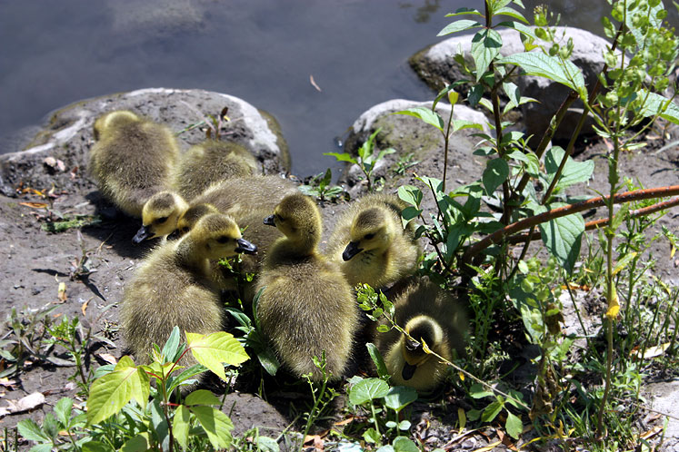 Toronto Photos :: Botanical & Edwards Gardens :: Toronto. Edwards Gardens - Ducklings