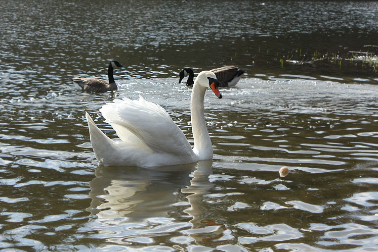 Toronto Photos :: High Park :: A swan in High Park