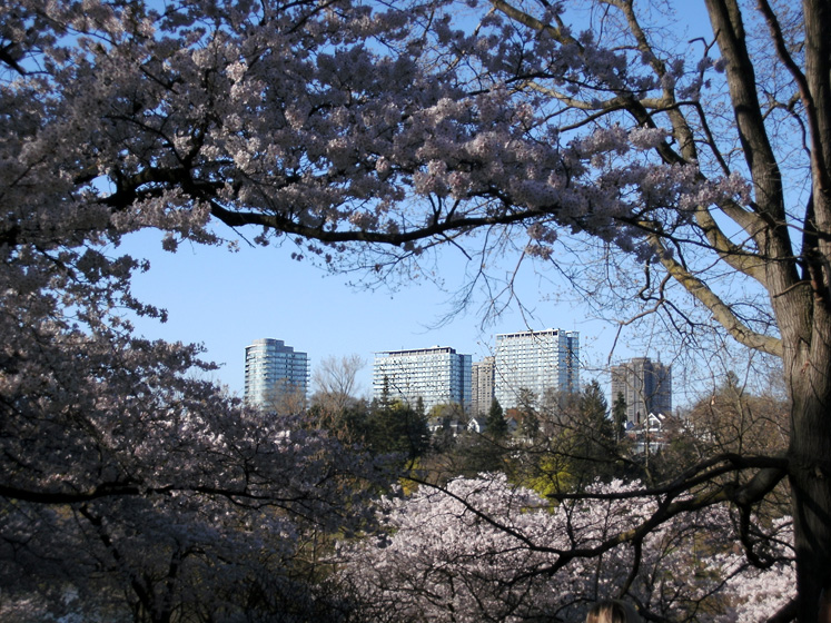 Toronto Photos :: Maya :: A view on apartment buildings through the blossming cherries in High Park