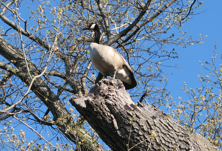 Toronto Photos :: Alec :: High Park. A goose on the tree