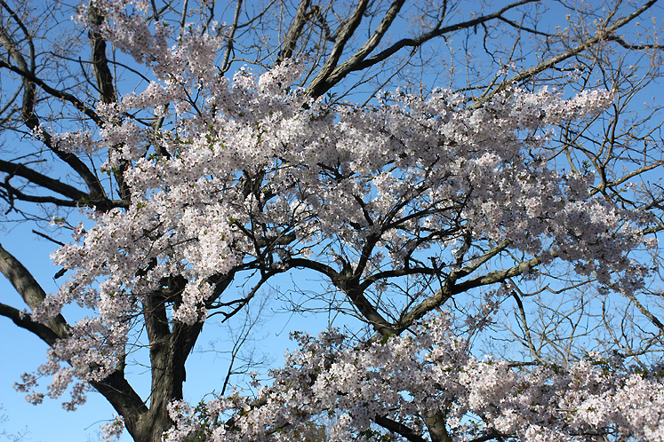 Toronto Photos :: Cherry blossom in High Park :: High Park. Cherry blossom