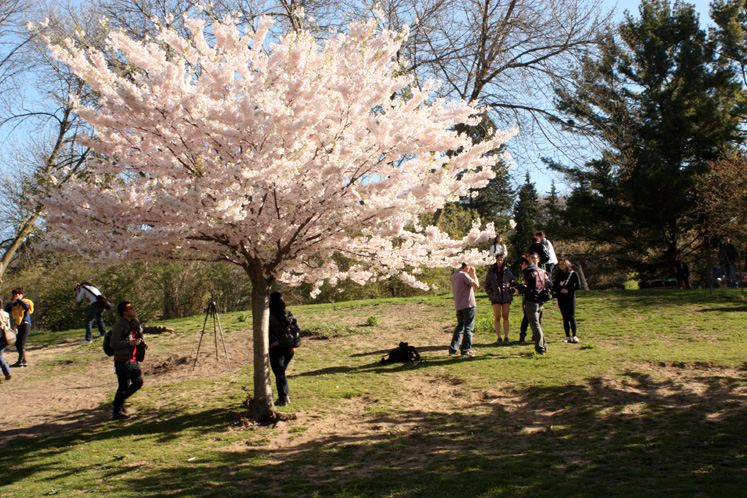Toronto Photos :: Cherry blossom in High Park :: High Park - a blooming cherry tree