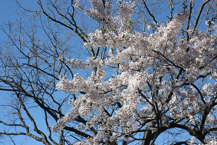 Toronto Photos :: Cherry blossom in High Park :: High Park - a blossoming cherry branch