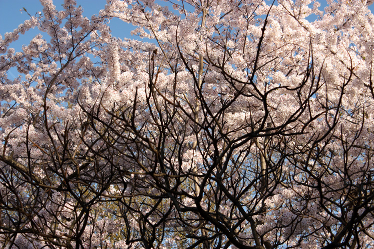 Toronto Photos :: Cherry blossom in High Park :: High Park - a cherry tree