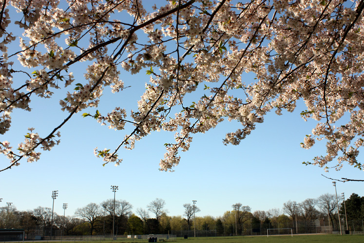 Toronto Photos :: Parks :: High Park - a cherry tree overlooking the soccer field