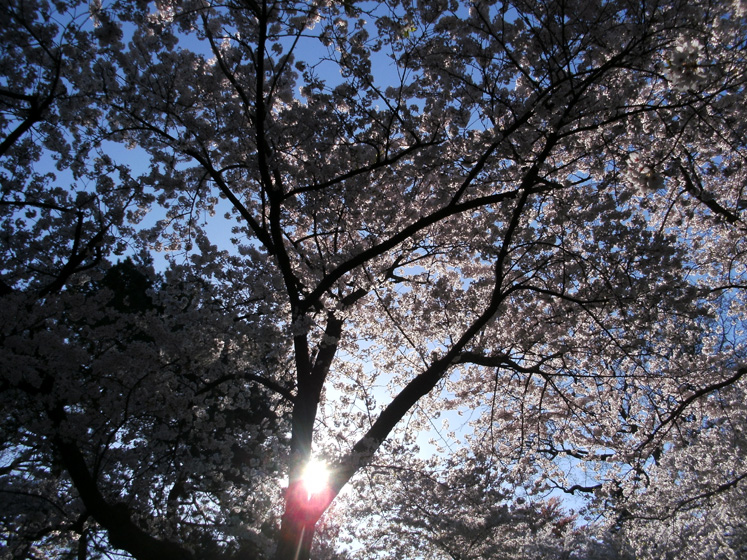 Toronto Photos :: Maya :: High Park - a sun is shining through the blossoming cherry trees