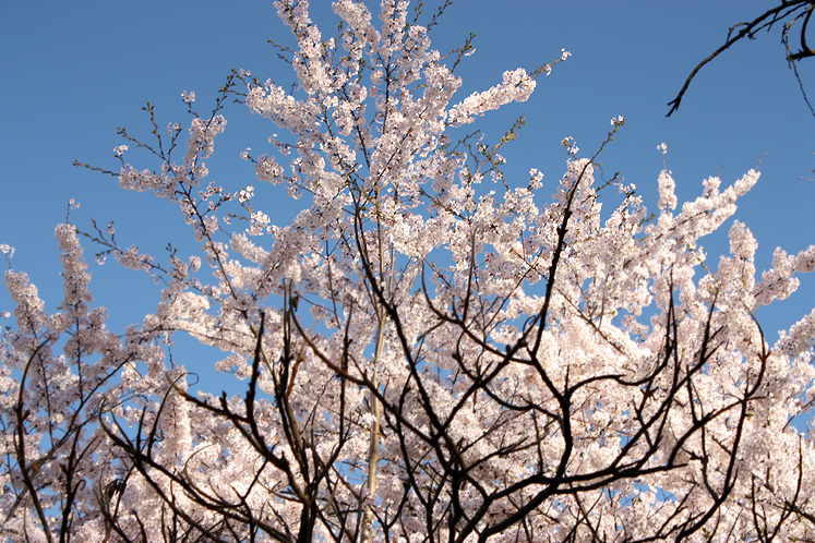 Toronto Photos :: Cherry blossom in High Park :: High Park - blooming cherries