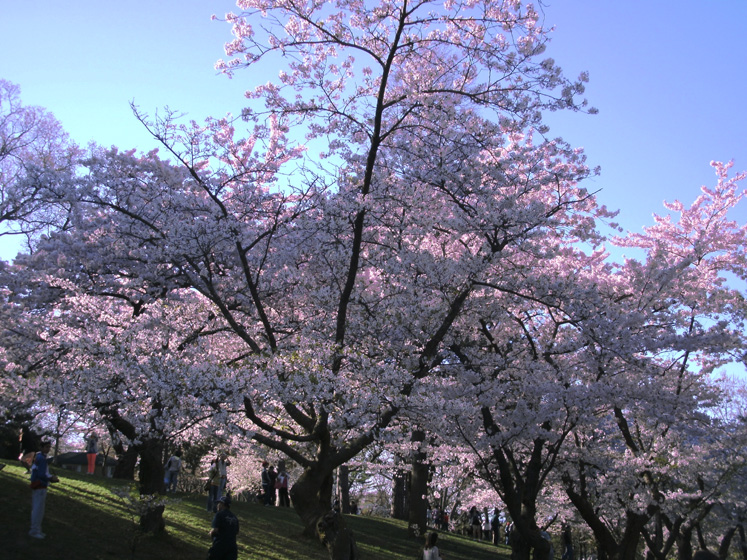 Toronto Photos :: High Park :: Pink clouds of blossoming cherries in High Park
