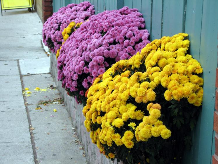 Toronto Photos :: Little Italy :: Little Italy - fall flowers