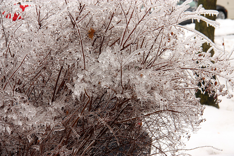 Toronto Photos :: Winter :: A bush covered with ice