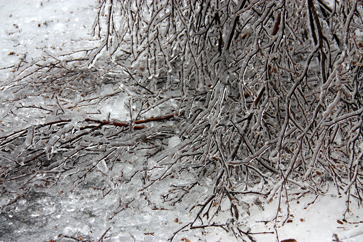 Toronto Photos :: Winter :: Damaged birch tree branches after the ice storm