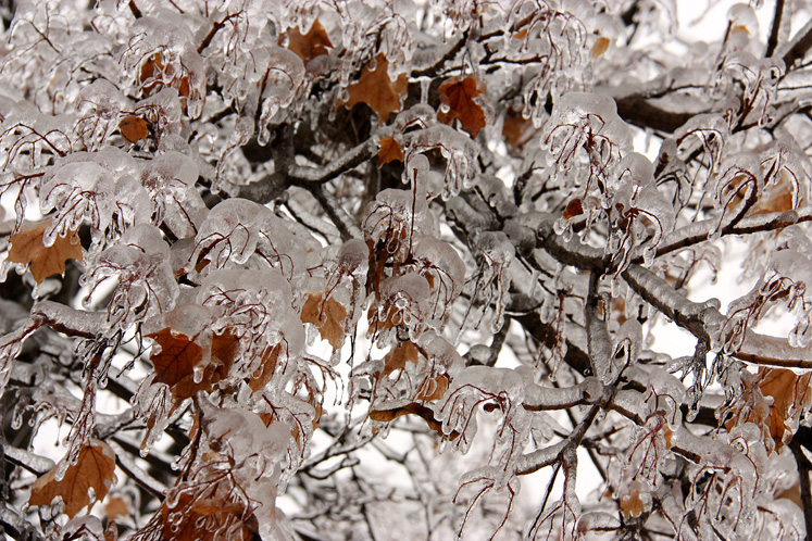 Toronto Photos :: Winter :: Ice-covered maple tree