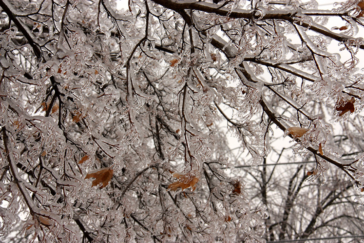 Toronto Photos :: Winter :: Tree branches covered with ice