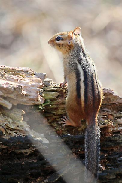 Toronto Photos :: Sergey-Tishin :: Wildlife photography. A Chipmunk