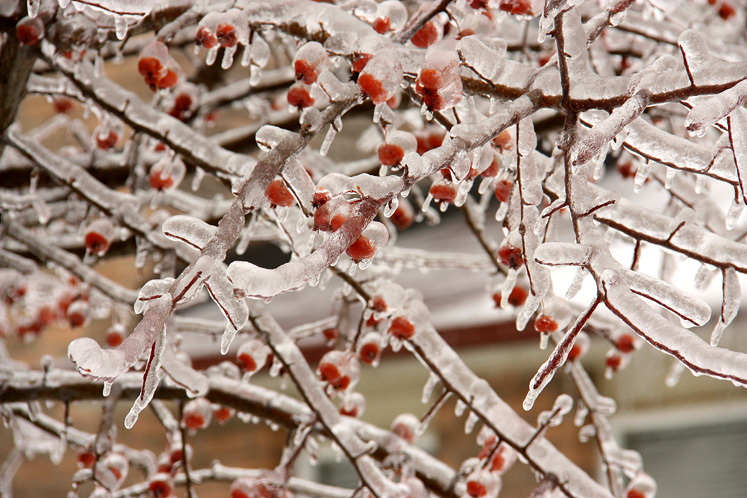 Toronto Photos :: Winter :: Winter - icy berries on the branch