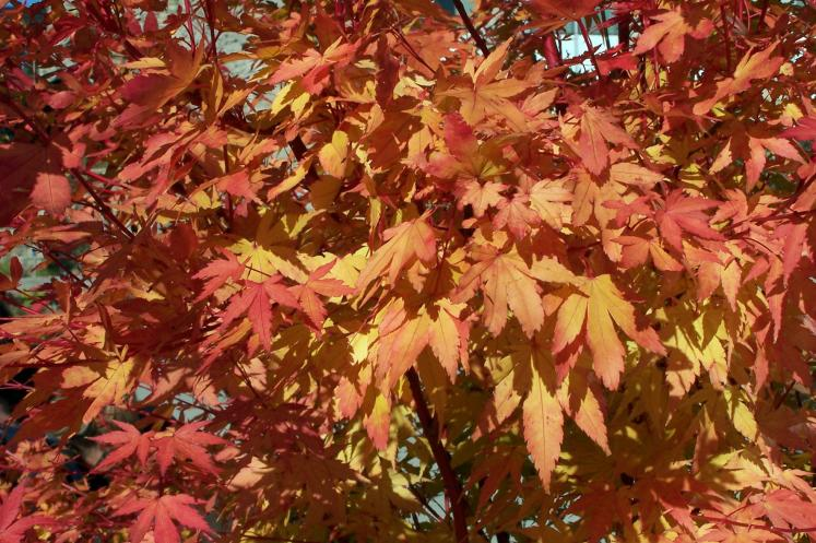 Toronto Photos :: Fall :: A japanese maple in Botanical garden
