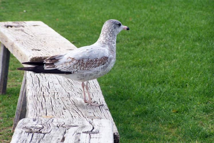 Toronto Photos :: Fort York :: A seagull in Fort York