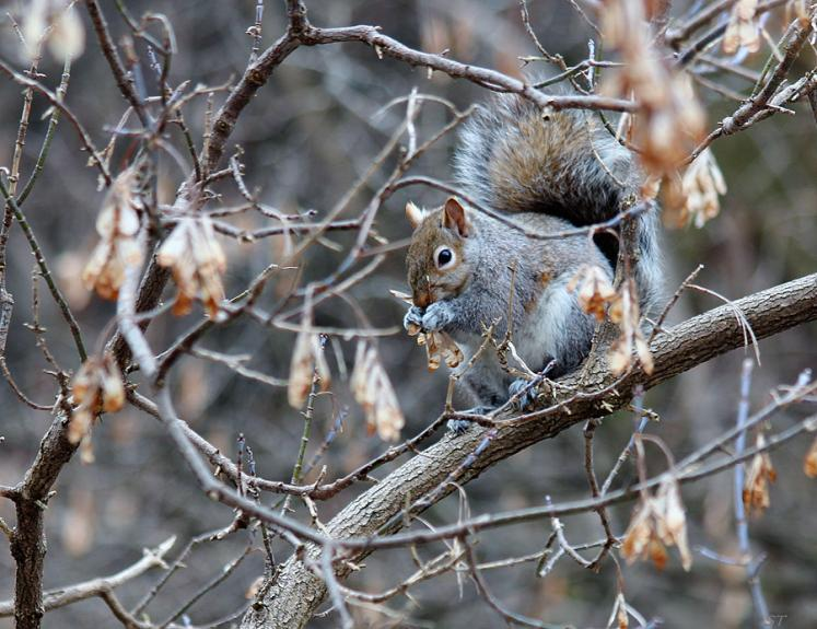 Toronto Photos :: Sergey-Tishin :: A squirrel in one of Toronto parks sitting on a tree branch