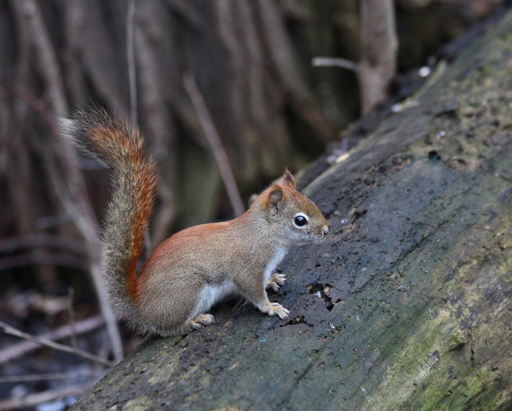 Toronto Photos :: North York :: Toronto. A little squirrel in G.Ross Lord Park