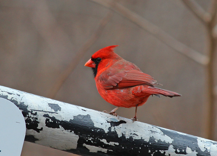 Toronto Photos :: North York :: Ontario. Red Cardinal
