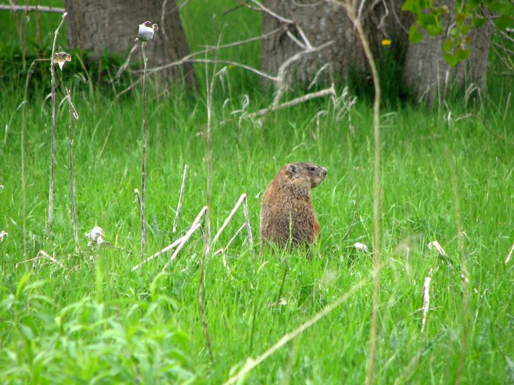 Toronto Photos :: Tommy Thompson Park :: Tommy Thompson Park - a beaver