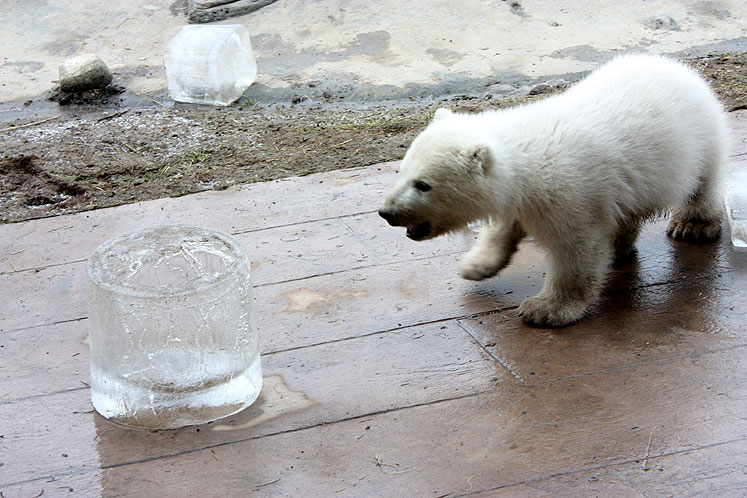 Toronto Photos :: Toronto Zoo :: A little polar bear is roaring at the ice cube
