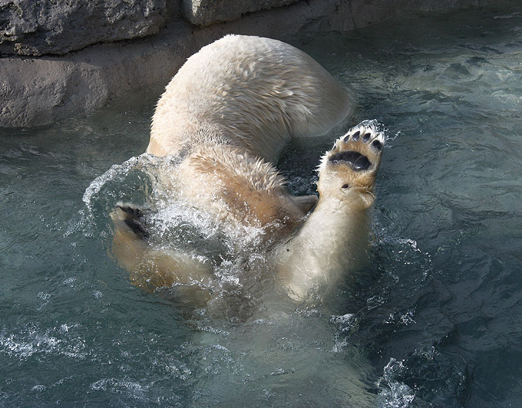 Toronto Photos :: Toronto Zoo :: Toronto Zoo.Polar bears are playing in the water