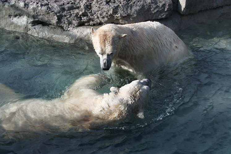 Toronto Photos :: Toronto Zoo :: Toronto Zoo. Playing polar bears