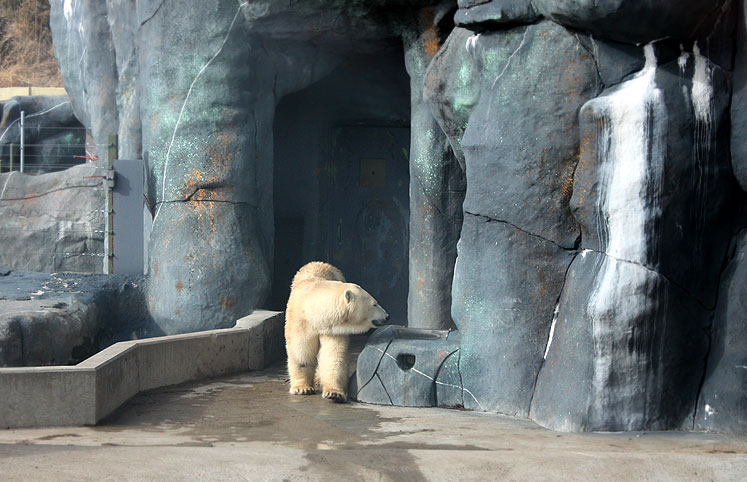 Toronto Photos :: Toronto Zoo :: Toronto Zoo. A large polar bear
