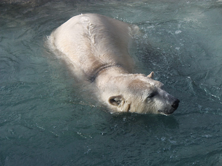 Toronto Photos :: Toronto Zoo :: Toronto Zoo. A swimming polar bear