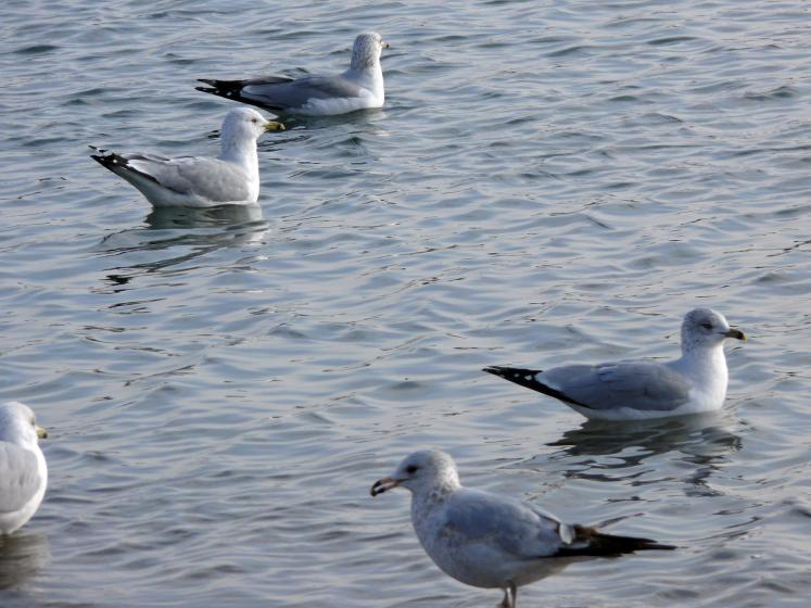 Toronto Photos :: Waterfront :: Seagulls